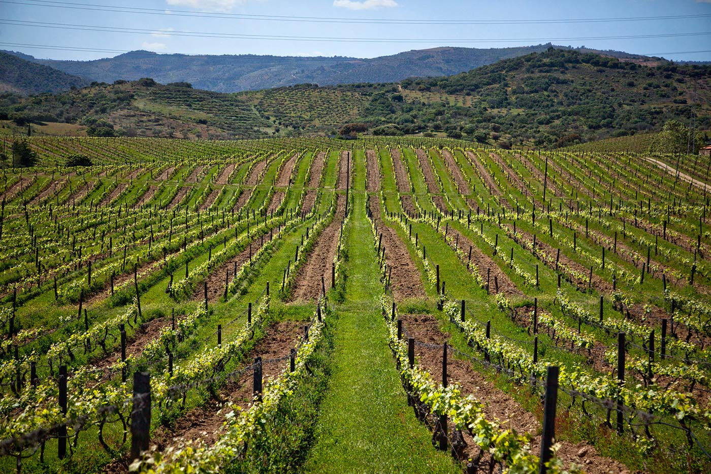 Cover crops sown in alternate rows in Quinta do Ataide